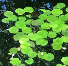 Frogbit Floating Pond Water Plants - Hydrocharis morsus ranae 1-20 plants
