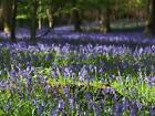 British Native Bluebell Wild Flower Seed by John Chambers