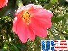 USA SELLER Pink Banana Passion Flower 5 20 seedsHEIRLOOM NON GMO