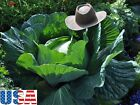 USA SELLER Giant Russian Cabbage 200-2000 HEIRLOOM NON GMO