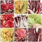 USA SELLER Radicchio Mix/Blend HEIRLOOM NON GMO