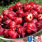 USA SELLER Roselle (Red Artichoke) 25-200 seeds HEIRLOOM NON GMO
