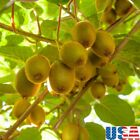 USA SELLER Hardy Kiwi 100-1000 seeds HEIRLOOM NON-GMO