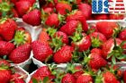 USA SELLER Jewel Strawberry 25-200 seeds HEIRLOOM NON-GMO