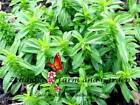 Summer Savory Herb Seeds Select up to 1LB USA FREE SHIP Greens Cook Garden  #167