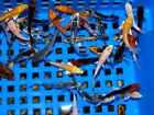 "Live Koi Carp for Sale - High Quality Mixed variety 2"" - 3"" Bundles 10 - 200"