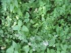 Catnip Seeds Non GMO Mint Herb Tea Attract Butterflies Repell Aphids Squash Bugs