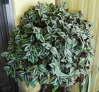Violet Hill Tradescantia Zebrina Wandering Jew Trailing House plant WITH ROOTS!!