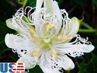USA SELLER White Bridle Passion Flower 5 20 seeds HEIRLOOM NON GMO
