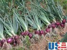 USA SELLER Red/Burgundy Onion 50-400 seeds HEIRLOOM NON GMO