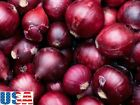 USA SELLER Red Creole Onion 50-400 seeds HEIRLOOM NON GMO