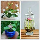 5pcs/bag mini lotus rare true Bonsai flower Seeds mixed colors Home and Garden p