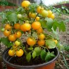 Vegetable seeds Bonsai plant Mini Tomato Organic DIY home garden decoration plan