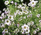 BIRD'S EYE Gilia Tricolor Bulk Flower Seeds + Free Seeds