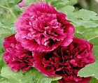 HOLLYHOCK QUEENY PURPLE Alcea Rosea Bulk Flower Seeds + Free Seeds