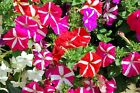 GARDEN PETUNIA GRANDIFLORA MULTI COLOURS MIXED STARS FRESH SEEDS