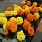 MARIGOLD AFRICAN CRACKERJACK MIX COLOUR SEEDS FREE POST