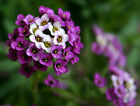 LOBULARIA CARPET OF SNOW SWEET ALYSSUM SNOWDRIFT PURPLE FRESH SEEDS FREE POST