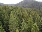 Douglas Fir Seed, Use for Timber, Landscape, or Christmas Trees