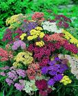 Achillea Summer Pastels Mixed  Plug Plants in stock