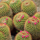 Mammillaria rhodantha, own root, small purple-pink flowers, cactus 5-6 cm