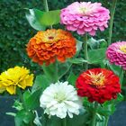 ZINNIA ELEGANS Flower Seeds * PUMILA MIX * Dahlia Bouquet Butterfly Heirloo BULK