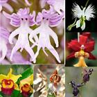 Pyramid Monkey Orchid Seeds Flower Seeds Outdoor Plants Seeds Bonsai N98B