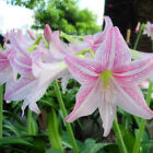 Amaryllis Bulbs Barbados Lily Root Hippeastrum Seeds Pink White Flower Plant New