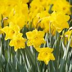 Daffodils Bulbs Dutch Master Flower Plants Seeds Roots Rhizomes Gardening Bonsai