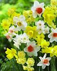 Naturalizing Mix Daffodil Bulbs Multiple Color Flower Plant Seeds Roots Rhizomes