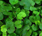DICHONDRA Dichondra Repens Ground Cover Bulk Flower Seeds + Free Seeds