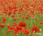 RED CORN POPPY Papaver Rhoeas Bulk Flower Seeds + Free Seeds