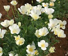 CALIFORNIA POPPY WHITE Eschscholzia Californica Bulk  Flower Seeds + Free Seeds