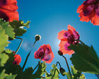 FLOWERS - Mini POSTERS (Official) 40x50cm - Large Range (Wall/Room/Art/Flural)