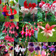 Rare Many Color Snow Fuchsia Seeds Nice Lantern Flower Golden Bell Plants Seeds