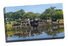 cows posing next to canal canvas print framed picture