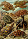 Ernst Haeckel Art Forms in Nature New Repro Print/Poster #23 Giclee Archival Ink