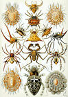 Ernst Haeckel Art Forms in Nature New Repro Print/Poster #9 Giclee Archival Ink