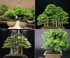 20 Rare Beautiful Juniper Bonsai Tree Seeds Potted Flower Office Bonsai Purify