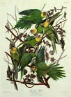"JOHN JAMES AUDUBON ""Carolina Parrot"" birds america STUNNING CANVAS or PAPER"