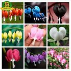 100 pcs Bleeding Heart Flower Seeds Dicentra spectabilis Sweet Hearts Wallet