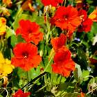 NASTURTIUM FLOWER GARDEN SEEDS - JEWEL MIX - ANNUAL GARDENING & MICROGREENS