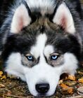 Beautiful Cute Huskey Dog Relaxing Animal Painting Art Paint By Numbers Kit DIY