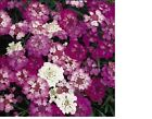 Candytuft, Tall Mix Flower Seeds - Fresh & Hand Packaged