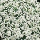 ALYSSUM, Carpet of Snow Flower Seeds - Fresh and Hand Packaged