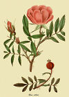 Rosa nitida - botanical flower print in 3 sizes