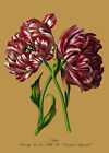 Tulips Mariage and Couronne - botanical flower print in 3 sizes