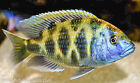 Nimbochromis Venustus, 1.25 inch,  African Cichlid FREE OVERNIGHT SHIPPING!