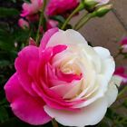2016 Colorful Flower Seeds Rose Seeds 100 Pcs Home Garden Plants Free Shipping
