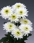 Chrysanthemum Beppie White  Perennial  -  potted plants